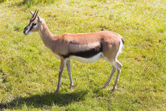 Mhorr Gazelle on grass Royalty Free Stock Photography