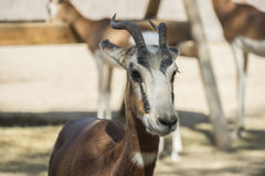 Mhorr gazelle looking closely at something.  Royalty Free Stock Images
