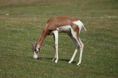 Mhorr gazelle Nanger dama mhorr. Also known as the dama gazelle stock photography
