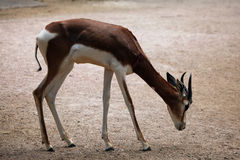 Mhorr gazelle (Nanger dama mhorr). Stock Photos