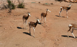 Mhorr's Gazelle. Walking to search for food Stock Images