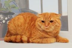 Mißfallene Scottishfalten-Rotkatze Stockbilder