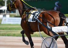 Mięśnie na brązu kłusaka końskim trakenie Nicielnica wyścigi konny w szczegółach obrazy royalty free