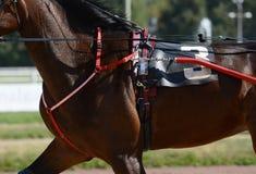 Mięśnie na brązu kłusaka końskim trakenie Nicielnica wyścigi konny w szczegółach obraz royalty free
