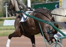 Mięśnie na szarym końskim kłusaka trakenie Nicielnica wyścigi konny w szczegółach obraz stock