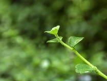 Miękcy krótkopędy zielony liścia bokeh jako zamazany tło miękkie ogniska, obraz stock