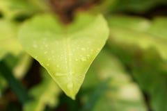 Miękki świeży zielony liść z rosa kroplami ptak gniazdowa paproć jest epifitycznym rośliną w Aspleniaceae rodzinie zdjęcie royalty free