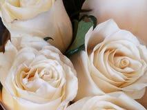 Miękki zbliżenie białe róże obraz royalty free