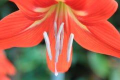 Miękkiej części gwiazda Holandia Amaryllis okwitnięcia zakończenia Czerwona tekstura obrazy royalty free
