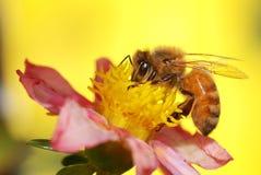 Miód pszczoły zbieracki nektar Zdjęcie Royalty Free