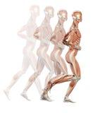 Mięśnie ilustracja wektor
