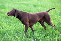 Mięśniowa czekolada - brown ogar, Niemiecki Shorthaired pointer, thoroughbred, stojaki wśród poly w trawie w punkcie fotografia stock