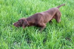 Mięśniowa czekolada - brown ogar, Niemiecki Shorthaired pointer, thoroughbred, stojaki wśród poly w trawie w punkcie zdjęcia stock