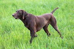 Mięśniowa czekolada - brown ogar, Niemiecki Shorthaired pointer, thoroughbred, stojaki wśród poly w trawie w punkcie fotografia royalty free