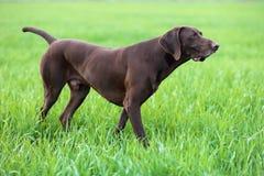 Mięśniowa czekolada - brown ogar, Niemiecki Shorthaired pointer, thoroughbred, stojaki wśród poly w trawie w punkcie obraz stock