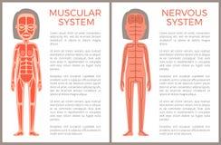Mięśniowy i układ nerwowy Anotomical sztandar royalty ilustracja