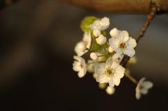 Miękcy biali czereśniowi okwitnięcia Fotografia Stock