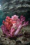Miękcy korale obrazy royalty free