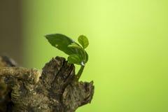 Miękcy krótkopędy liście łama z bagażnika obraz stock