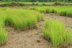 Miękcy ryż Fotografia Stock