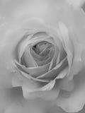 Miękka część monochromu blada róża Zdjęcie Stock