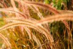 Miękka część strzelająca setaria trawa w świetle słonecznym, dżdżownicy brzmienia wizerunek Obrazy Royalty Free