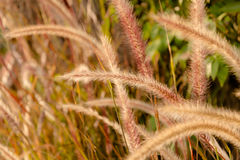Miękka część strzelająca setaria trawa w świetle słonecznym, dżdżownicy brzmienia wizerunek Zdjęcia Royalty Free