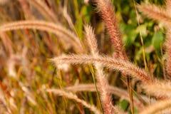 Miękka część strzelająca setaria trawa w świetle słonecznym, dżdżownicy brzmienia wizerunek Fotografia Stock