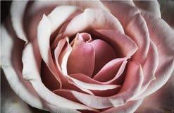 Miękka klarowność miłość z Różowi Różanego fotografia royalty free