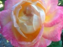 Miękka kolor żółty róża z Różowymi płatkami Fotografia Stock
