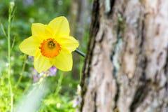 Miękka ostrość biały dziki daffodil lub Pożyczająca leluja kwitnie - narcyza pseudonarcissus, Amaryllidoideae, Amaryllidaceae zdjęcia stock