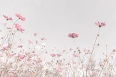 Miękka ostrość i zamazani kosmosów kwiaty Zdjęcie Stock
