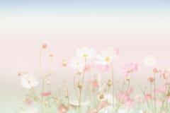 Miękka ostrość i zamazani kosmosów kwiaty na pastelowym kolorze projektujemy dla Obrazy Stock