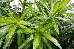 Miękka ostrość krople z liścia com rośliną lub Dracaena drzewem jako tło zdjęcia stock
