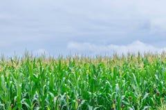 Miękka ostrość kukurudza, Indiańska kukurudza, kukurydza, Zea Maj, Poaceae, Gramineae, rośliny pole z niebieskim niebem i kopii a Obrazy Stock