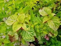 Miękka ostrość liścia Wiecznozielony lub Aglaonema Chiński modestum jako tło Obraz Stock