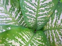 Miękka ostrość liścia Wiecznozielony lub Aglaonema Chiński modestum jako tło Fotografia Stock