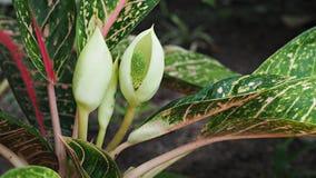 Miękka ostrość na kwiatach Dieffenbachia lub niemej trzciny roślina Obraz Stock