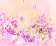 Miękka ostrość na kwitnąć czerwoną koniczynę Zdjęcie Stock