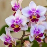 Miękka ostrość piękna gałąź dwoistego koloru orchidei brata Pico mini sympatia Phalaenopsis, ćma orchidea jest na delikatnym li fotografia royalty free