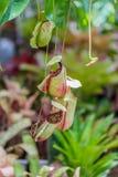 Miękka ostrość Tropikalnego miotacza rośliny Zdjęcia Royalty Free