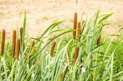 Miękka ostrość Typha kwiatonośne rośliny Zdjęcia Stock
