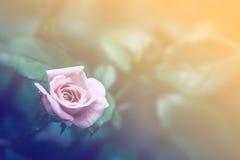 Miękka ostrość zakończenia up menchii róża, rocznika proces Obrazy Stock