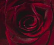 Miękka ostrości czerwieni róża Zdjęcie Stock
