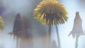 Miękki ostrość materiał filmowy dandelion zbiory