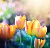 Miękki ostrość tulipanów kwiat w kwiacie Zdjęcia Stock