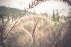 Miękki ostrości Pennisetum: ornamentacyjny trawy pióropuszy, kwiatów tło/ Zdjęcia Stock