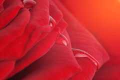 Miękki ostrości róży kwiatu tło Obrazy Stock