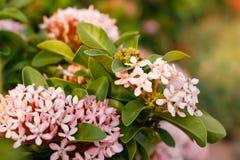 Miękki ostrości zbliżenie różowy Ixora kwiat Obrazy Stock