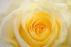 miękki różany żółty Obraz Royalty Free